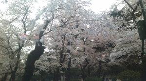 Tsuruma_koen_sakura